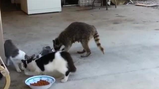 Un raton laveur vole de la nourriture à des chats