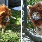 Un costume de Lion pour chat