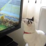 Un chat essaye d'attraper les oiseaux à la télévision