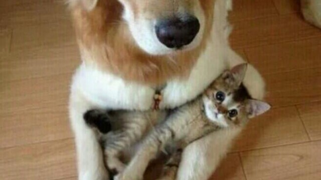 Un chat et un labrador font des calins