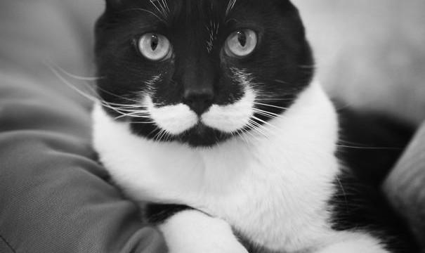 Un chat à moustache (hipster style)