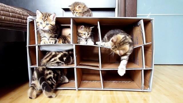 Des chats mignons explorent une maison en carton