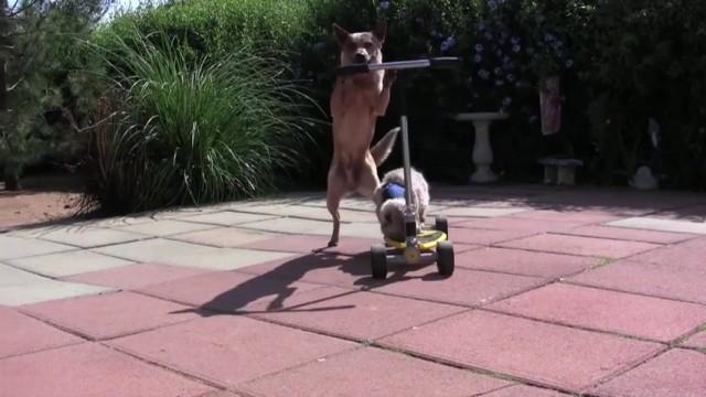 Un chien pousse un chat sur une trottinette
