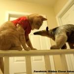 Un fourmilier trop mignon joue avec un chat