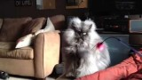 Colonel Meow, le nouveau chat star d'Internet !