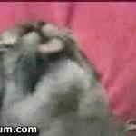 Un chat fou miaule