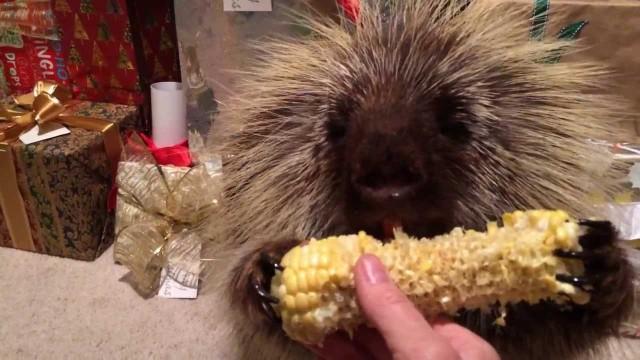 Un porc-épic mange un épi de maïs sous le sapin de Noël