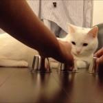 Kido le chat joue au bento, le jeu des gobelets, et gagne