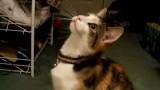 Un chat qui miaule en non-stop !