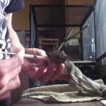 Comment nourrir un bébé écureuil ?