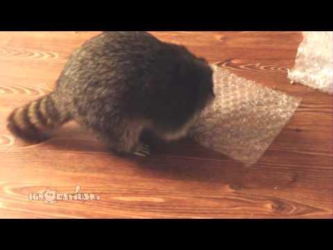 Un raton laveur s'amuse à éclater du papier bulle d'emballage