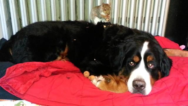 Wally l'écureuil mange des amandes sur Jax le gros chien