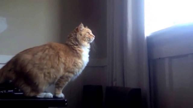Un gros chat saute et fait un fail