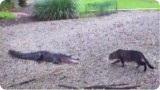 Un chat se bat contre un crocodile