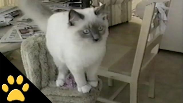 Ce chat fait un gros fail en sautant ! Et embarque tout au passage