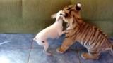 Regardez ce que ce Bébé Tigre fait à ce Chien