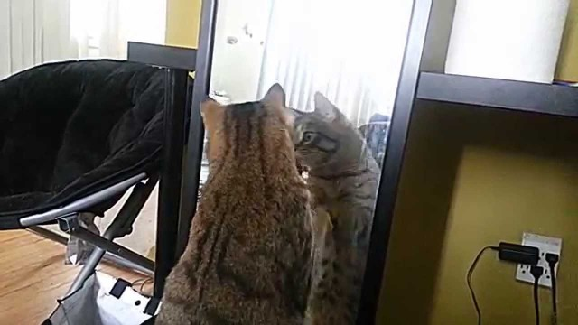 Un Chat se Bat contre un Miroir