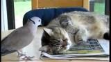 Un Chat se fait Embêter par un Pigeon !
