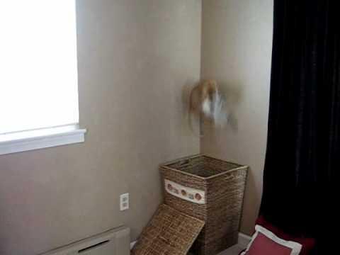 Un Chat fait des Sauts de Folie pour Attraper du Linge !