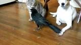 Un Corbeau nourrit un Chat et un Chien