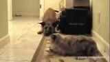 Des Chats empêchent des Chiens de Passer. Et c'est marrant