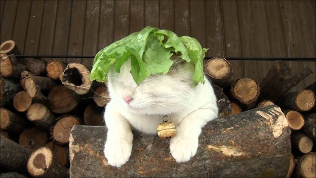 Un Chat porte une Feuille de Salade sur la Tête