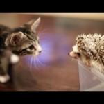 Quand un Chaton rencontre un Bébé Hérisson…