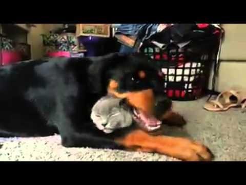 Un Rottweiler et un chat s'adorent !
